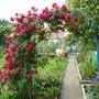 Моя роза радует всех