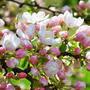 Яблони в цвету - какое чудо.....