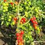 Пятилитровое ведёрко помидорных горошин с куста